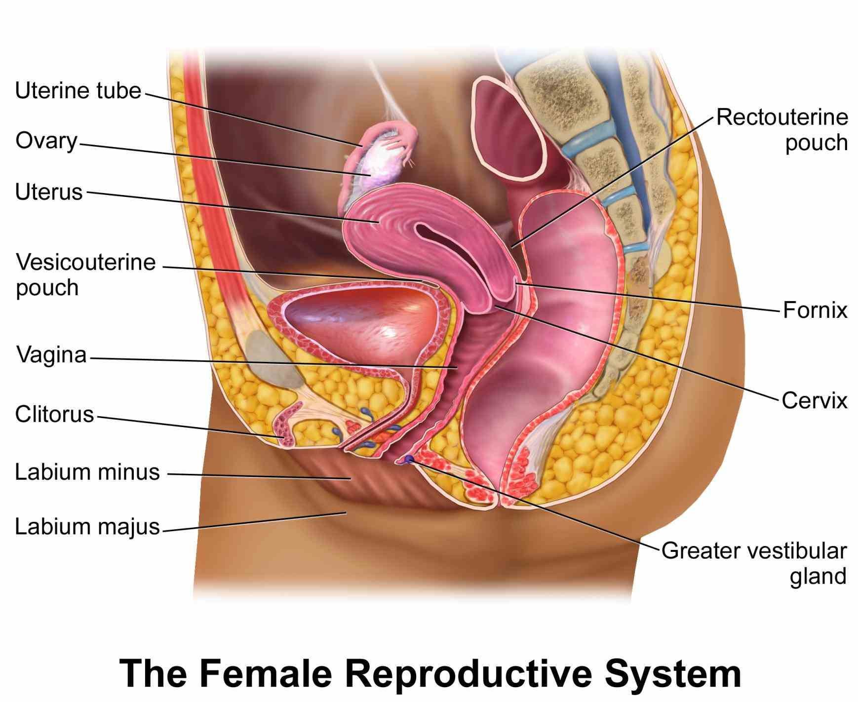 Anatomy Of The Female Reproductive System Pictures Wallpapers