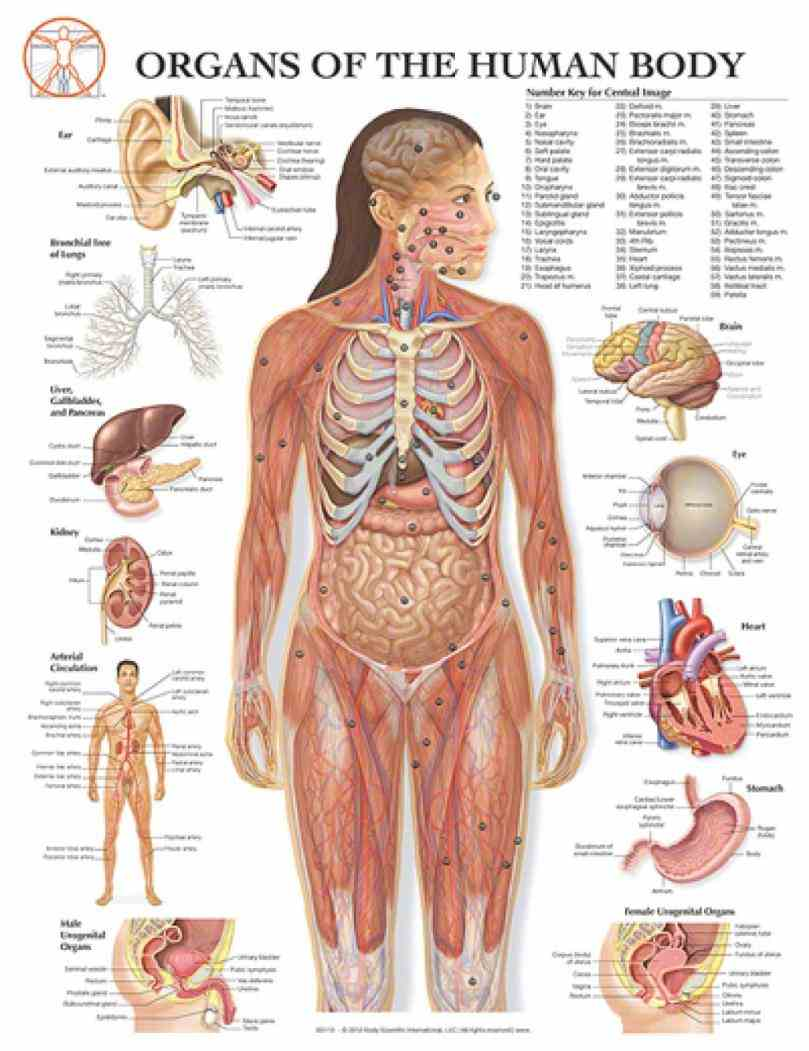 Female Human Body Organs Diagram Pictures Wallpapers