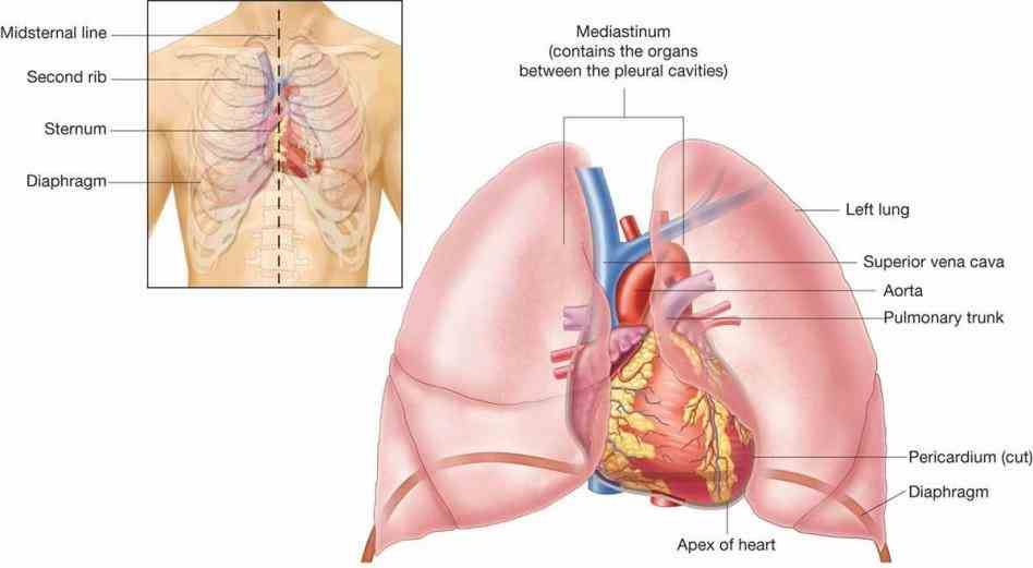 """knowing Heart Where Is It Located In The Chest """"where is your heart located"""" helps categorize chest pain"""