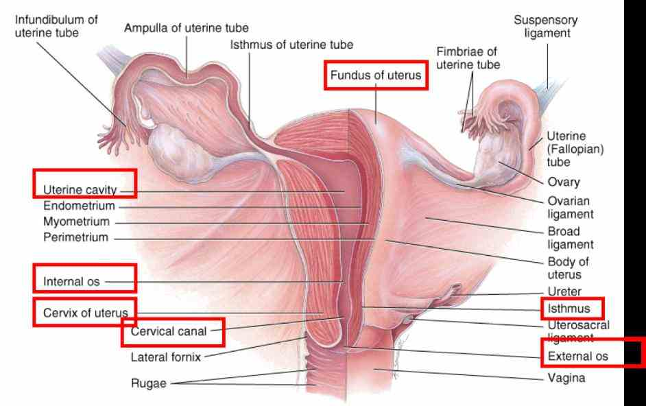 learn Anatomy Of The Female Genital Tract more about anatomy of the female reproductive system in boundless open textbook