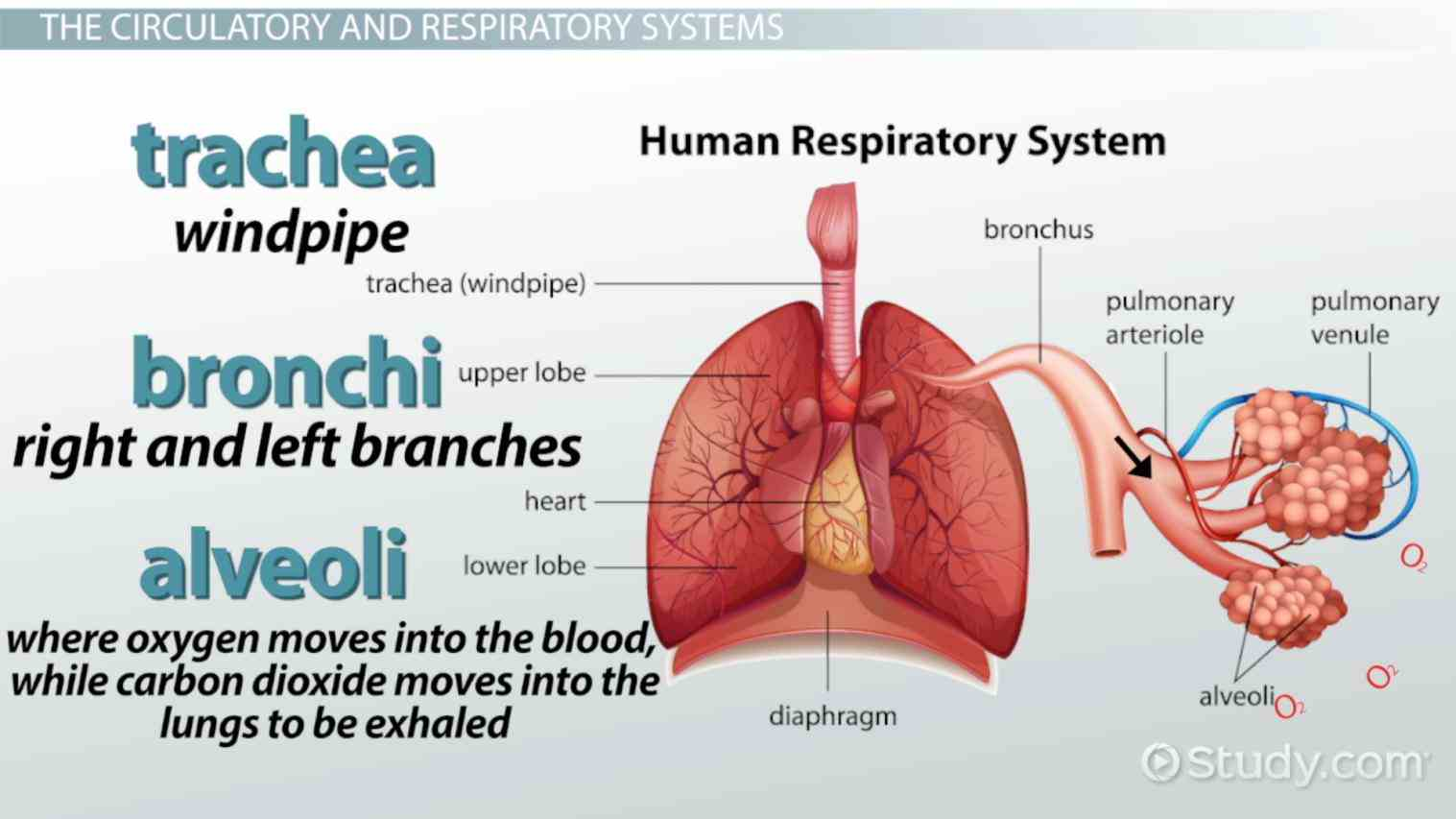 Parts Of The Respiratory System And Their Function Pictures Wallpapers
