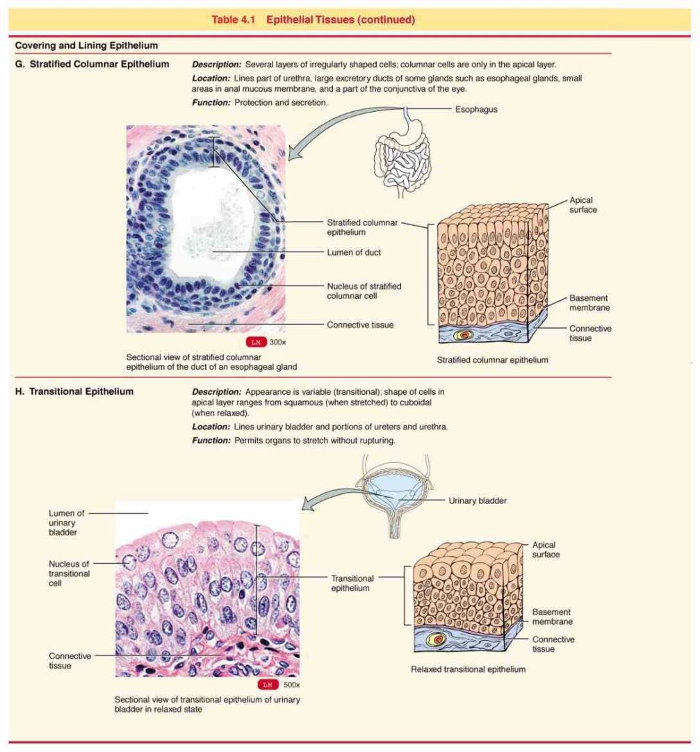 Lining Of Airway Extending From Nasal Cavity Different Types Epithelial Cells Line Airways Each Uniquely Suited To Effects Smoking X