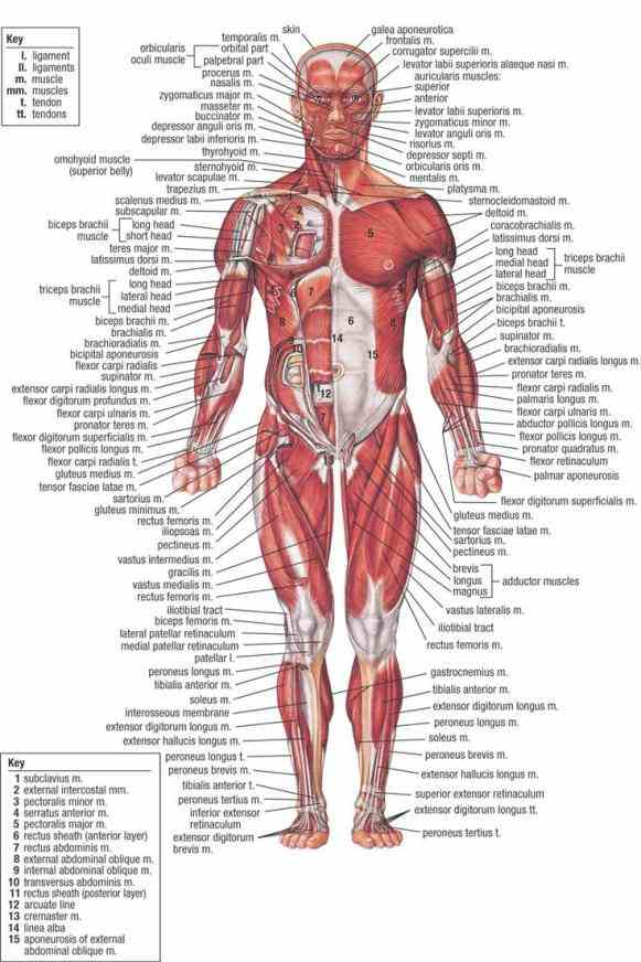 Labeled Muscle Human Body Pictures Wallpapers