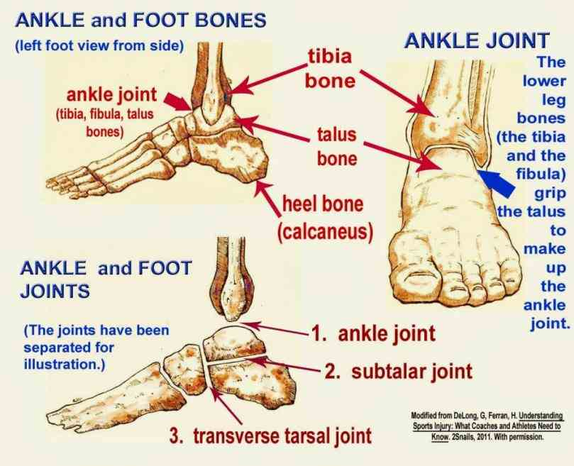 look at the applied anatomy of ankle joint; articulating surfaces ligaments movements and any clinical  anatomical Anatomy Of The