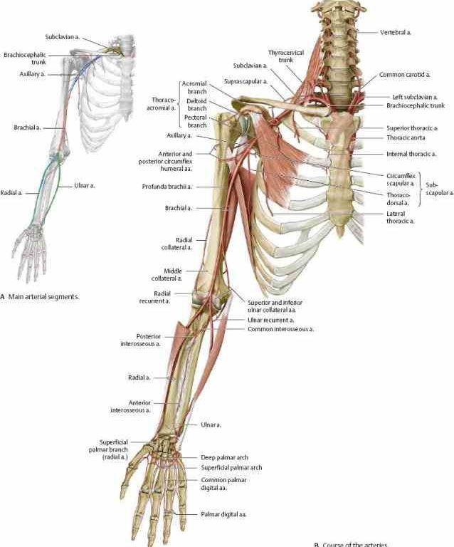 Luxury Upper Extremity Veins Anatomy Image - Anatomy And Physiology ...