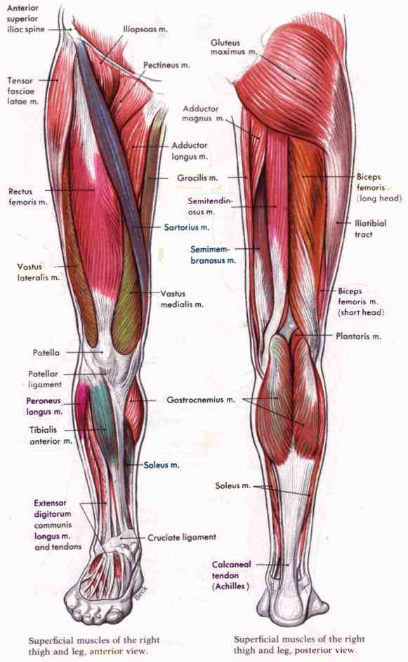 Human Detailed Structure Leg Pictures Wallpapers