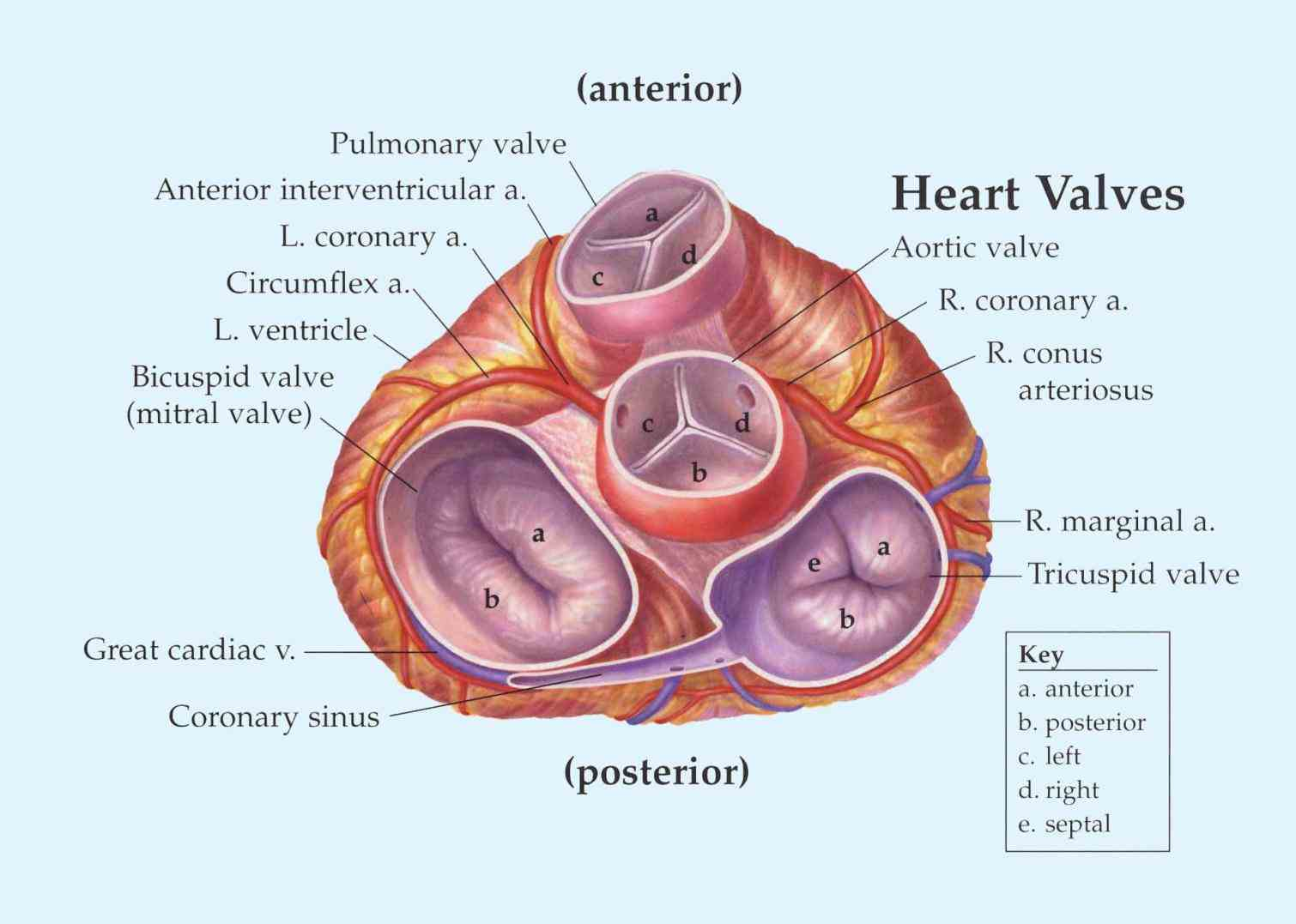 Anatomy heart valves