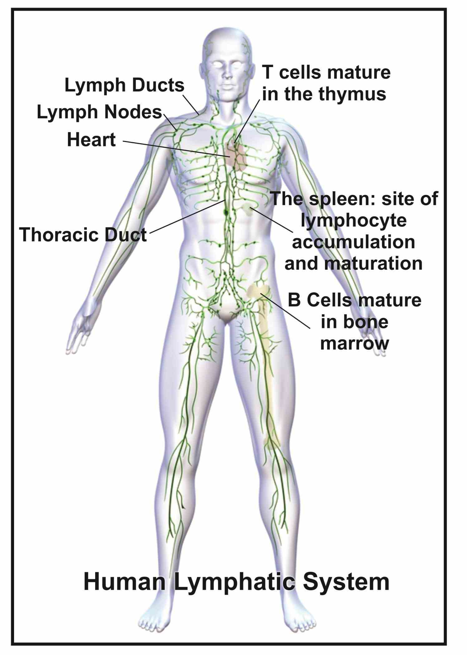 lymphatic system contains structures that help filter harmful substances from lymph derives interstitial fluid surrounds cells of body tissues
