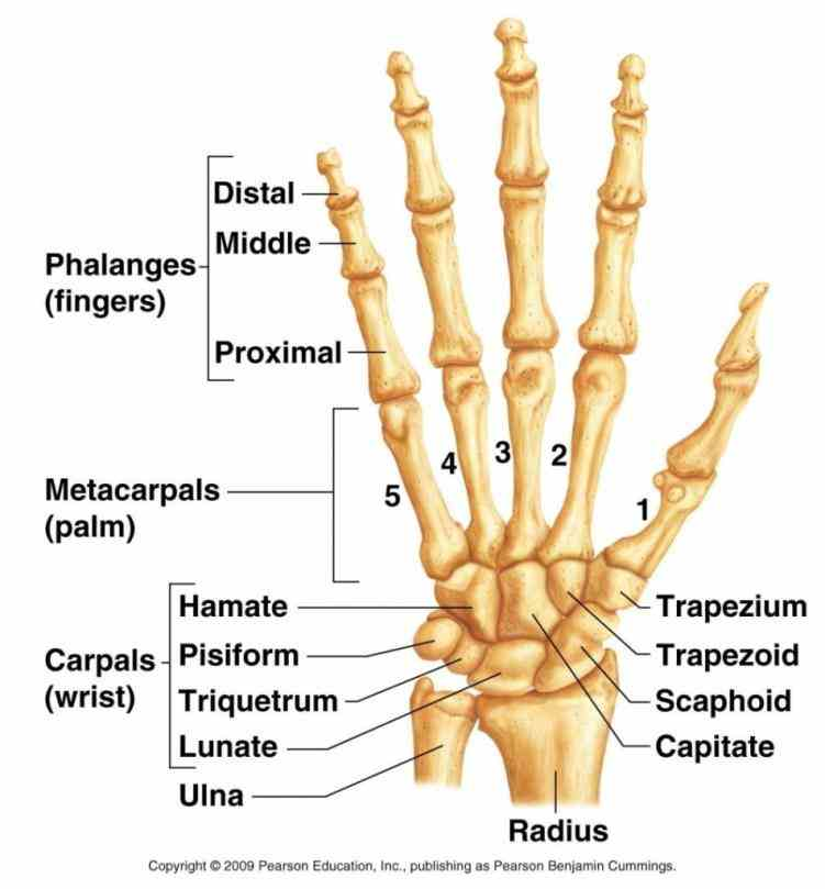 made up of multiple joints where bones arm and hand meet to allow movement carpus formed  explore Anatomy Of