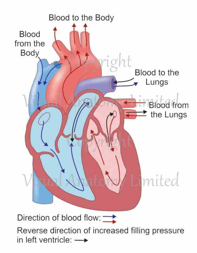 major arteries and gets  anatomy Heart Anatomy Blood Flow Diagram of the heart blood flow and parts chapter lesson