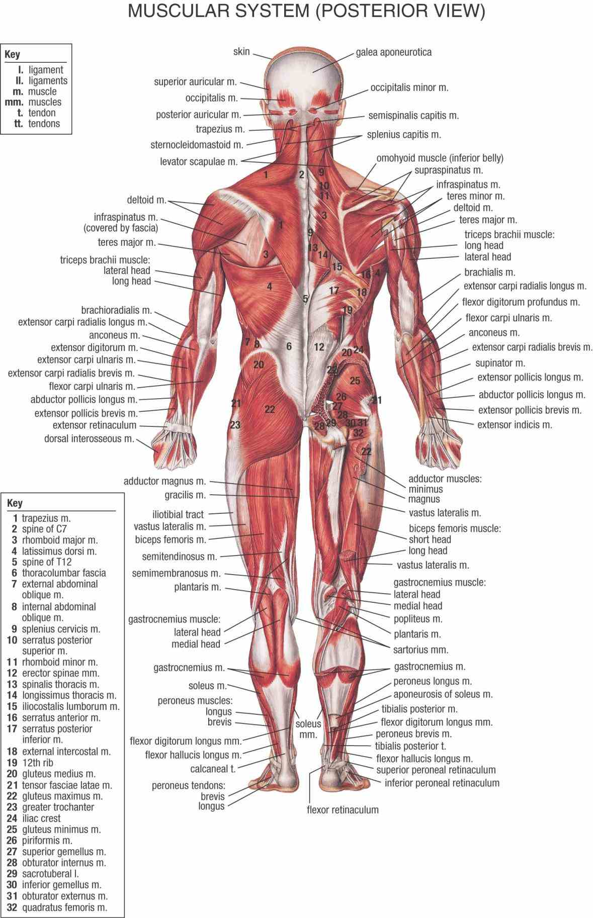 major muscle group dont forget click on name part a detailed  they Muscular Parts Of The Body help to