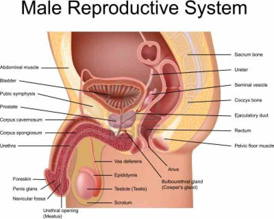 Anatomy Of A Male Reproductive System Pictures Wallpapers