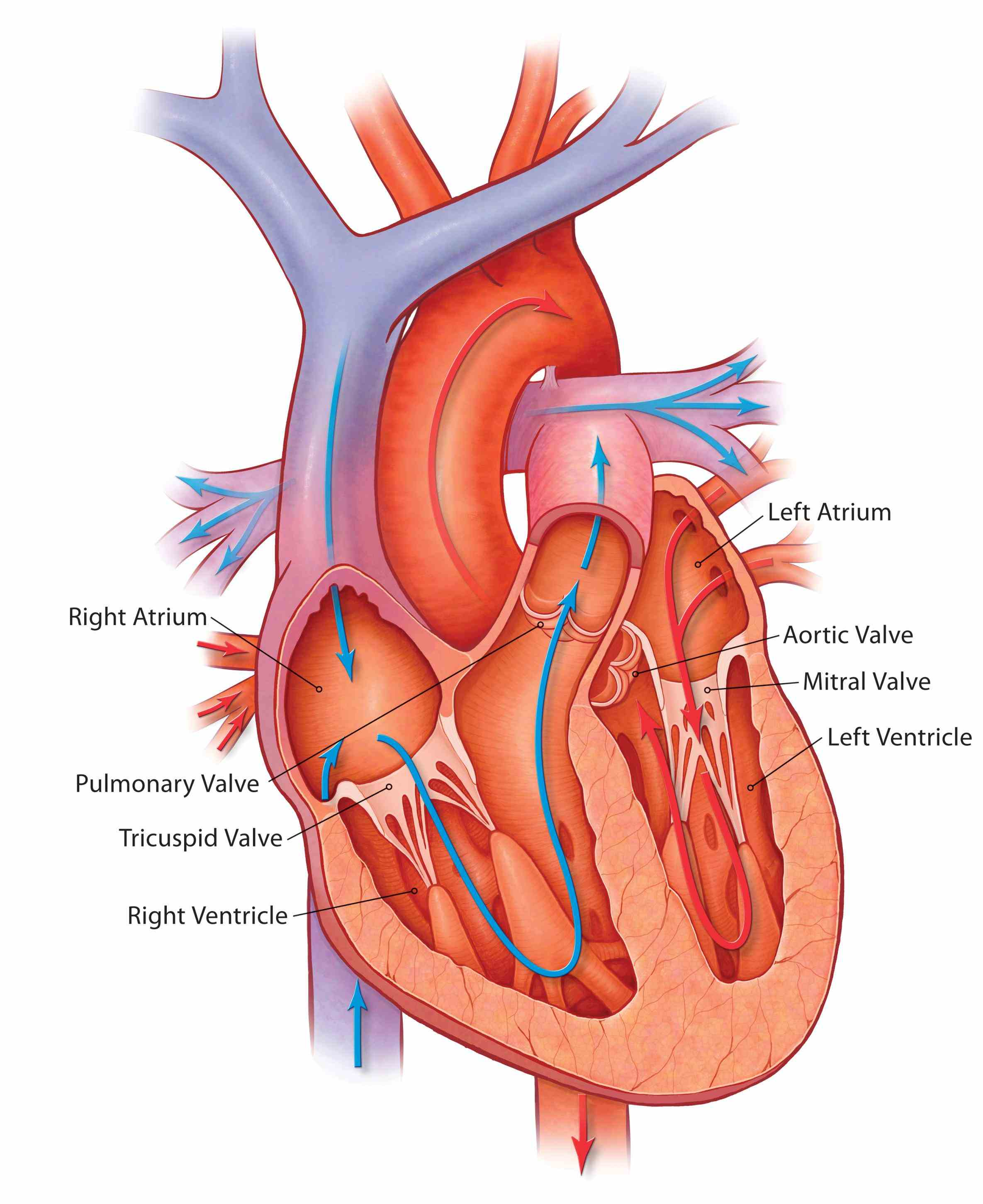 Heart Valves Anatomy Pictures Pictures Wallpapers