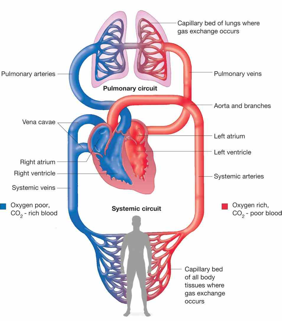 Labeled Diagram Of The Heart And Blood Flow Pictures Wallpapers