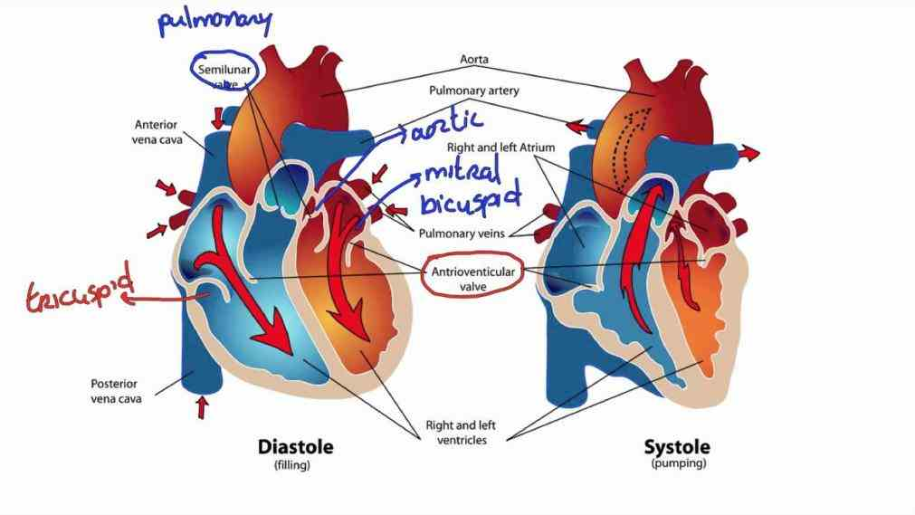 Images Of Blood Flow Through The Heart Pictures Wallpapers