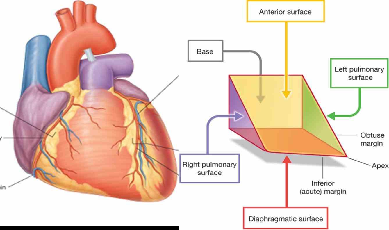 membrane called pericardium peri around cardium greek this actually image Double Layered Membrane Around The Heart quiz what is