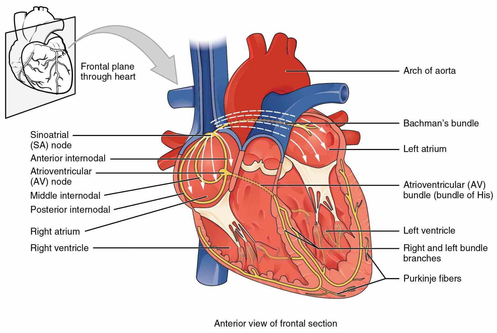 membrane known as intercalated disks the Muscles Of The Heart Are Called inferior tip of heart known as apex