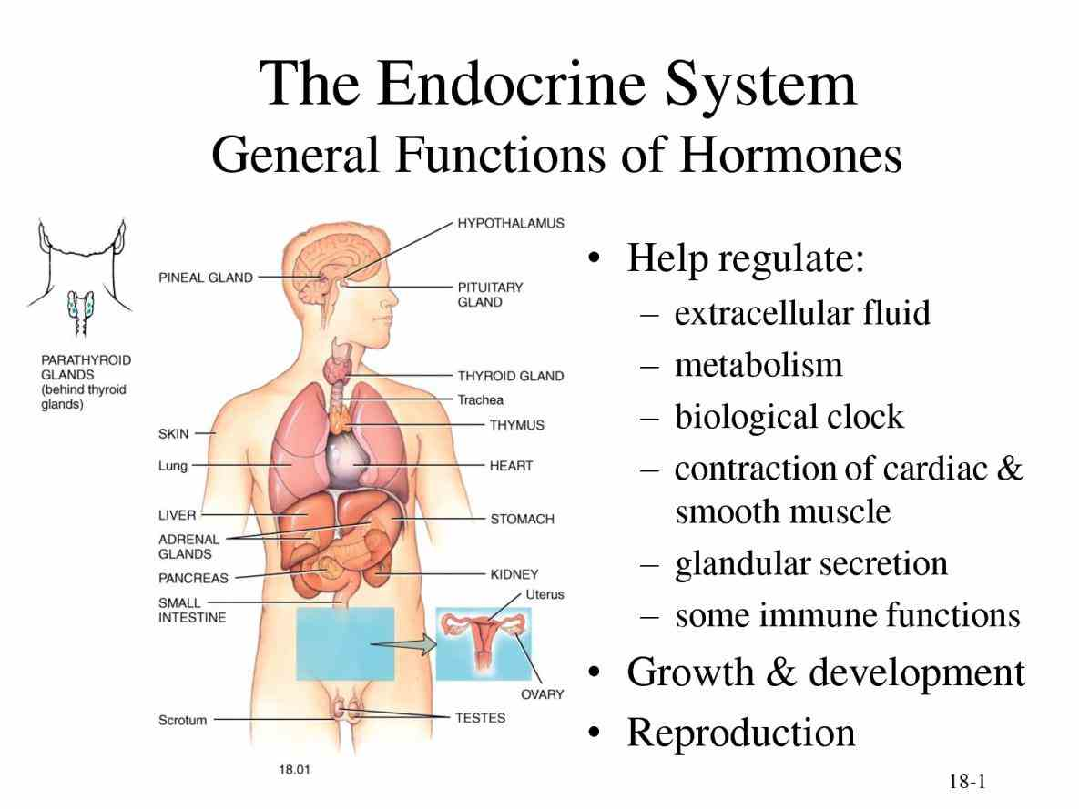 Labelled Endocrine System Anatomy Pictures Wallpapers