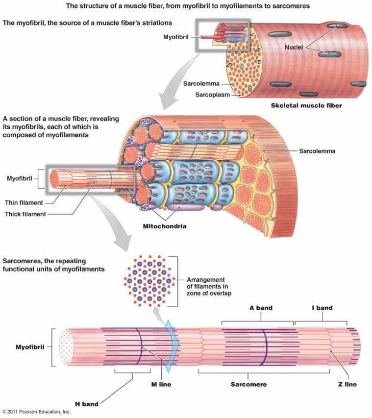 most common of the three types muscle body skeletal muscles are attached to bones by tendons and they produce