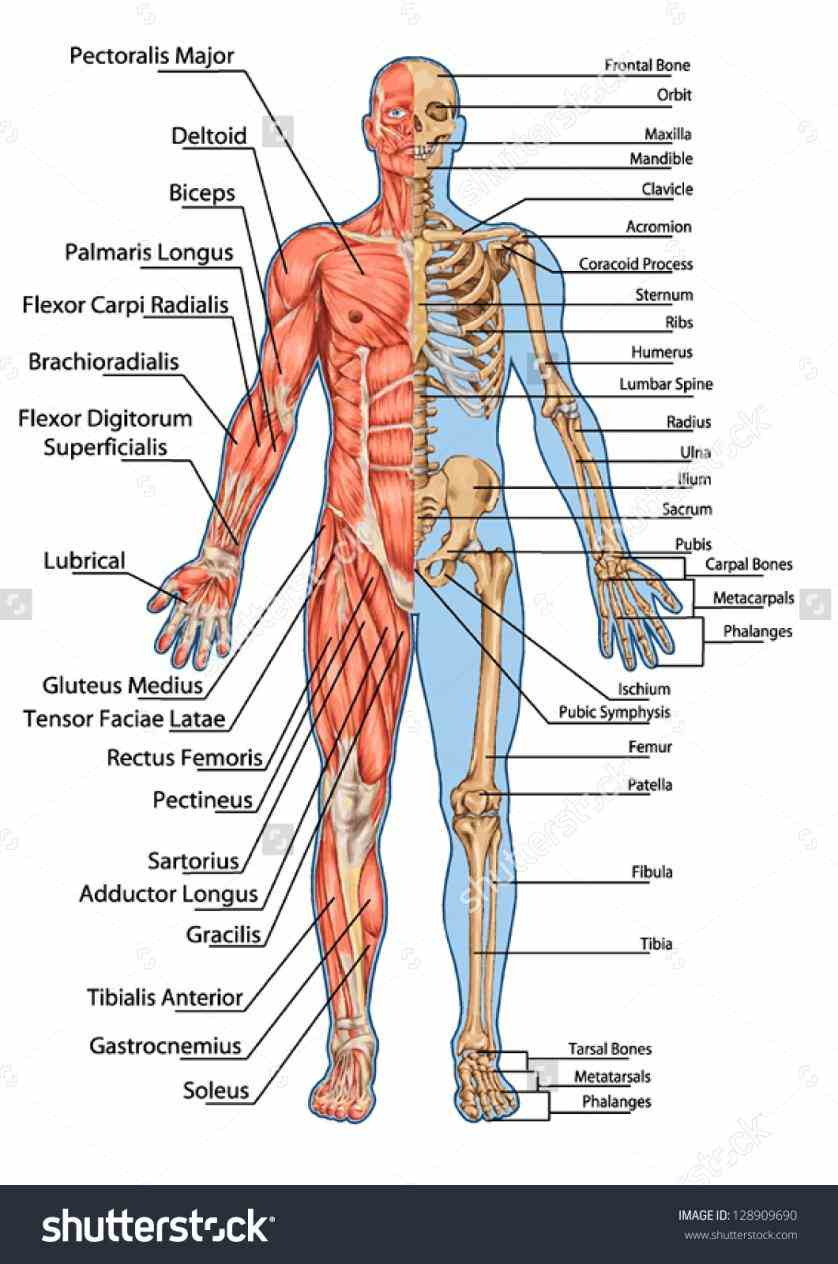 movement body maintains posture circulates blood there are approximately in human shows Muscular System Human Anatomy a threedimensional models