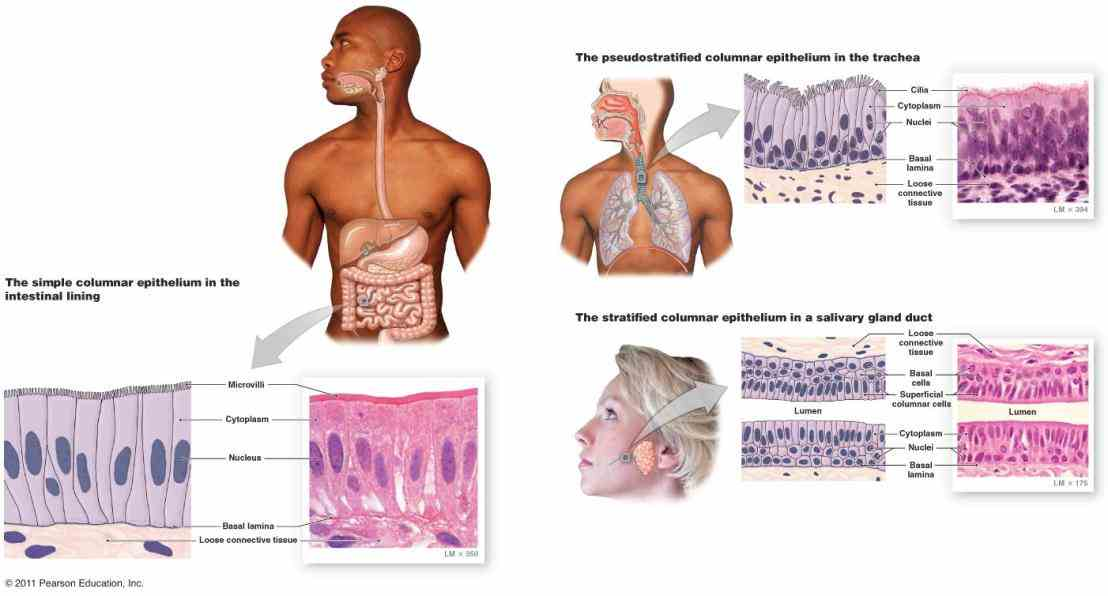 Epithelial Tissue In Respiratory System Pictures Wallpapers