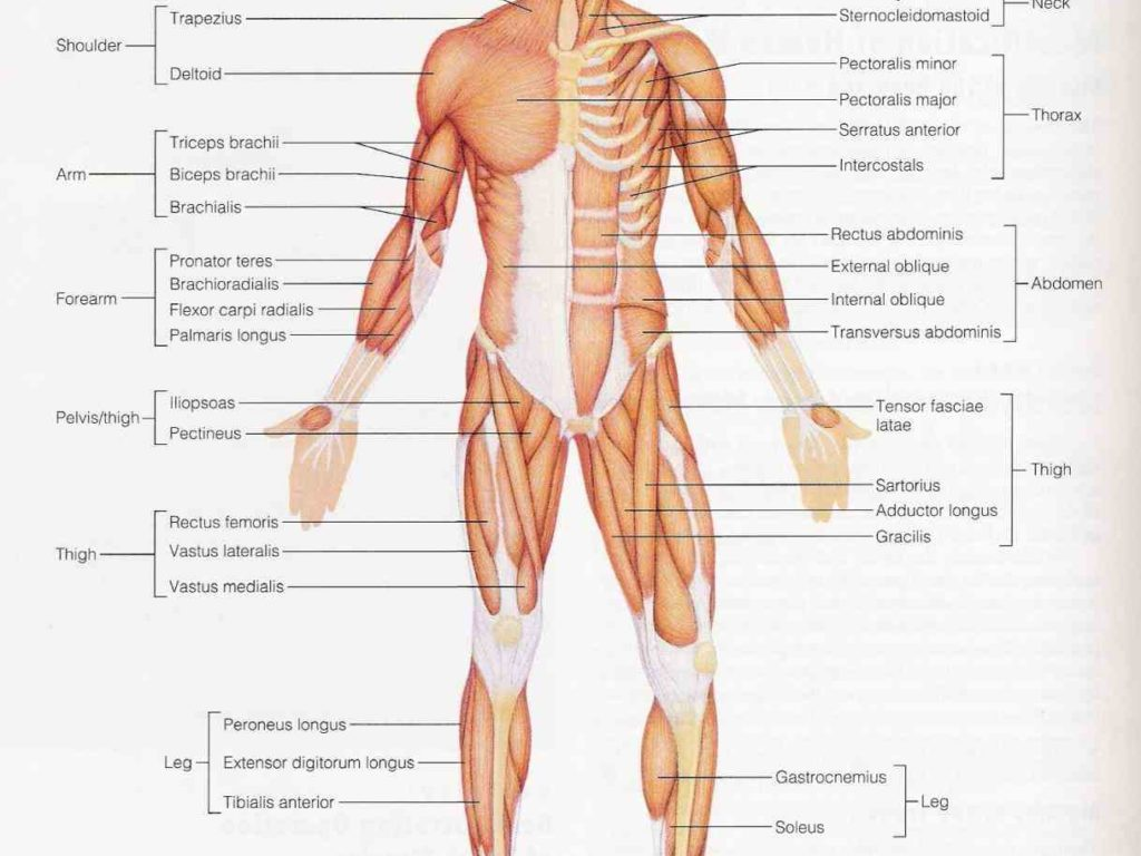 Dorable Labelled Muscular System Diagram Sketch - Physiology Of ...