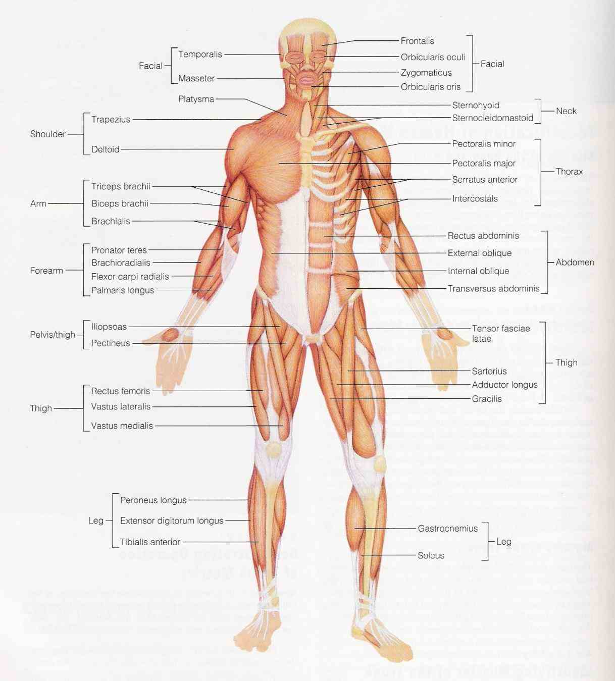 muscles – anatomy format jpeg width px height the Labelled Muscular System Diagram following labelled diagram of human anterior