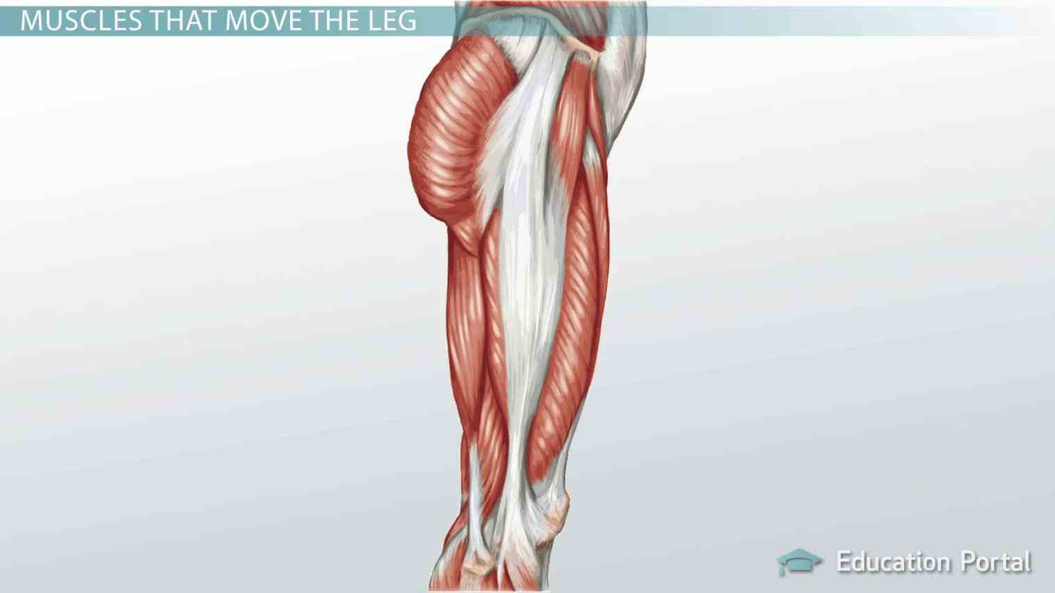 muscles de Human Detailed Structure Leg mar knee anatomy is about the structure of – that parts makeup this