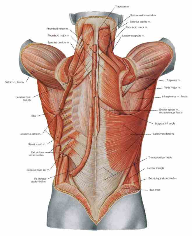 muscles form anterior and lateral wall consist of external obliques internal abdominal  you Anatomy Of Stomach Muscles dont have
