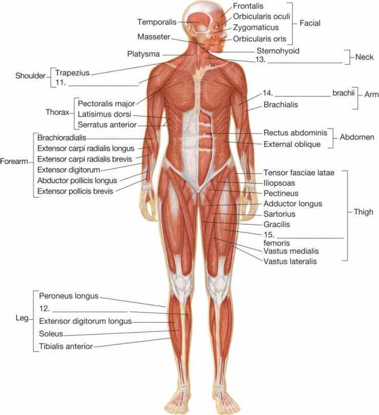 muscles includes some all skeletal body cannot be seen from any one view a Diagram Of All Muscles In