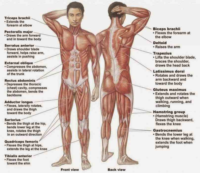 Labelled Muscular System Diagram Pictures Wallpapers