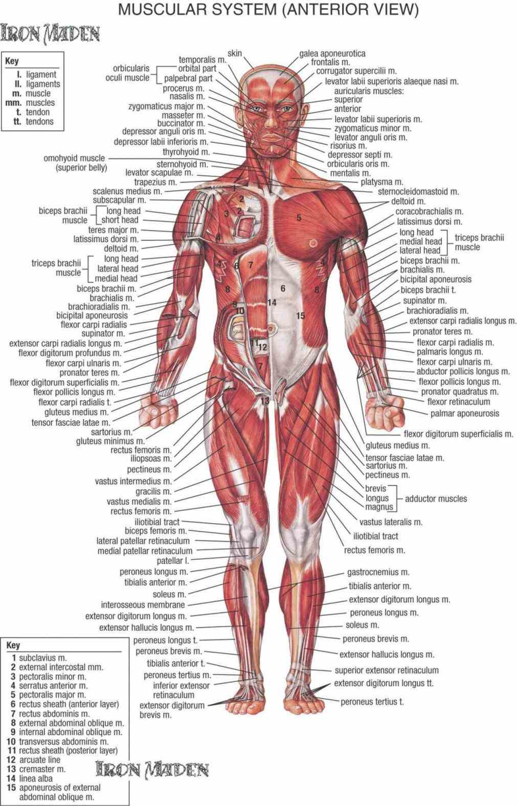 muscles of body are illustrated and weakest all muscle tissues visceral makes organs contract to  de Diagram Of All