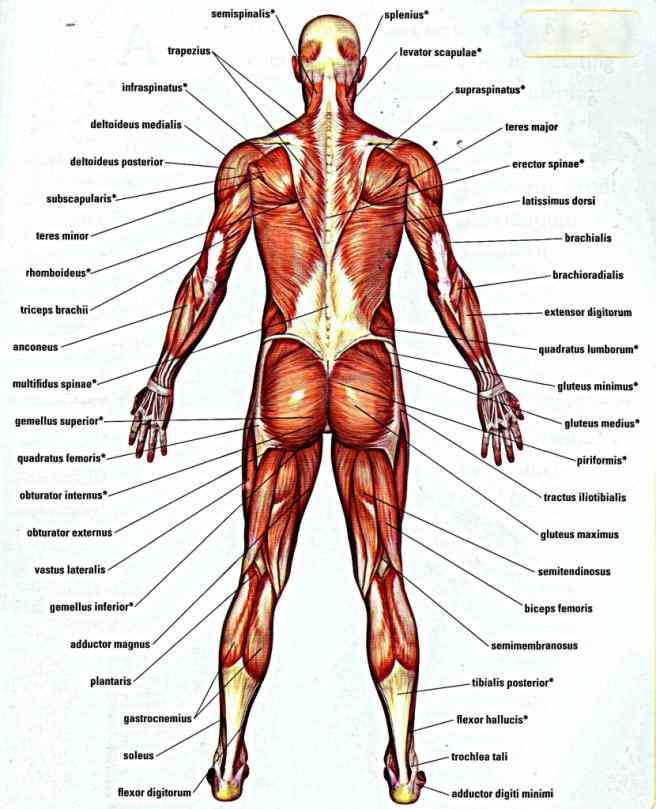 muscles of body  the Diagram Of All Muscles In The Human Body muscular system is comprised of sum total