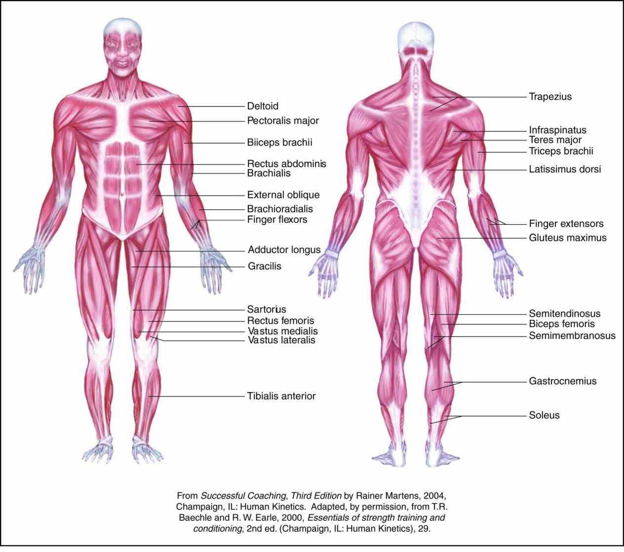 muscles throughout body that humans have three types muscle skeletal this type creates movement in proper nutrition and exercise