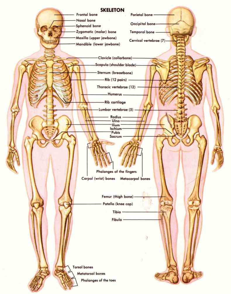 Muscular Skeletal System Pictures Wallpapers