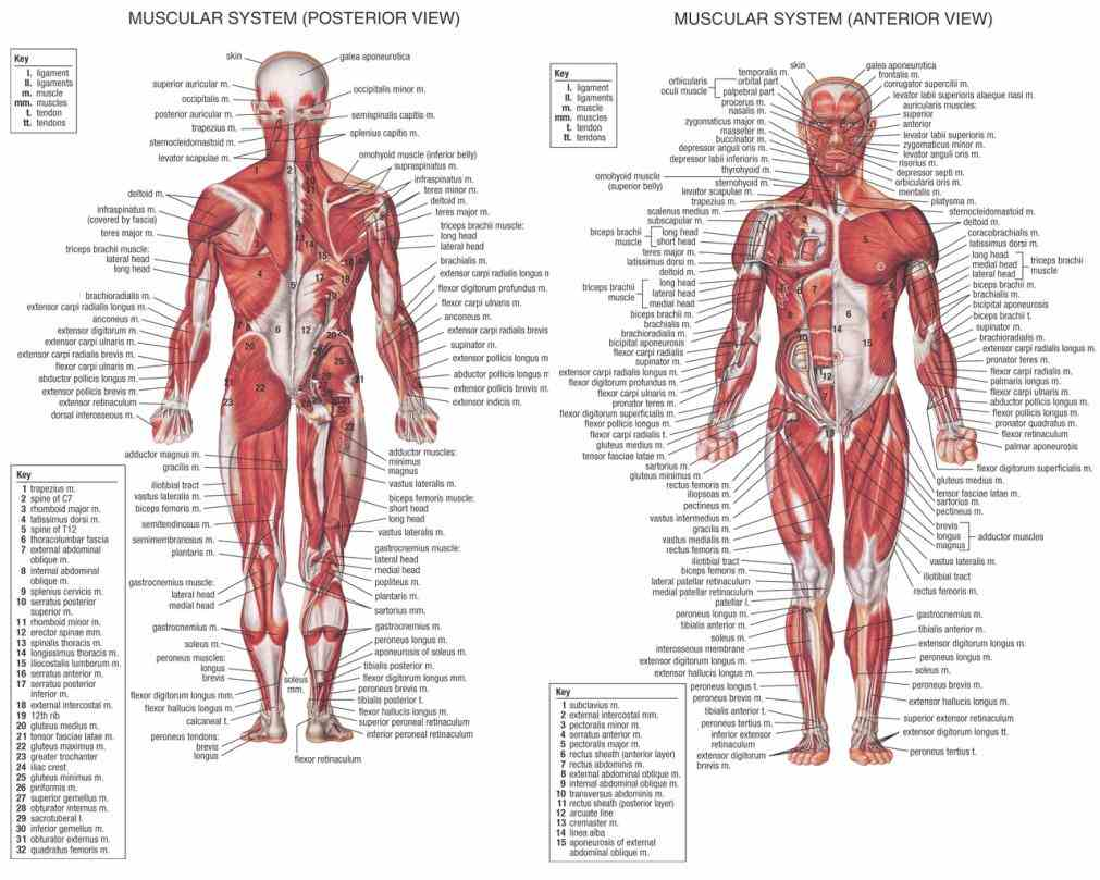 muscular system get male and female anatomy the Female Muscular System Diagram Anatomy female muscular system anatomical chart is