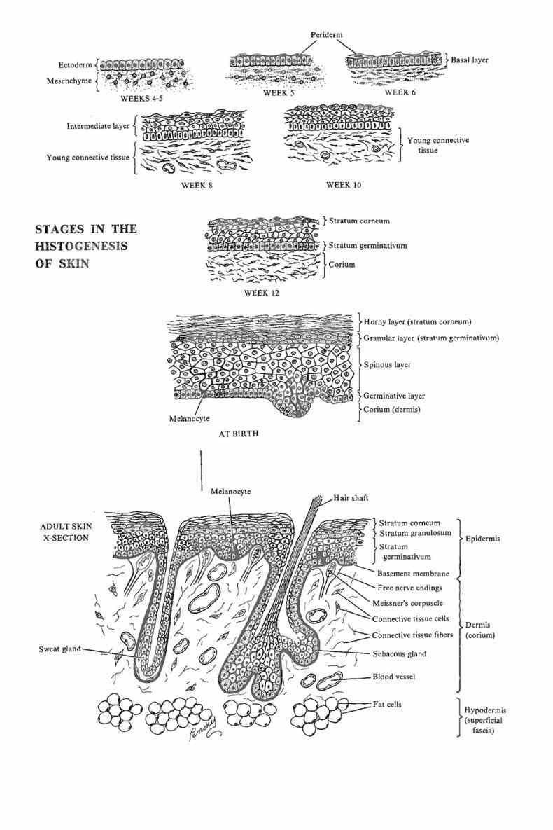 nail root body free edge this Integumentary System Parts And Their Functions article defines the integumentary system and discusses