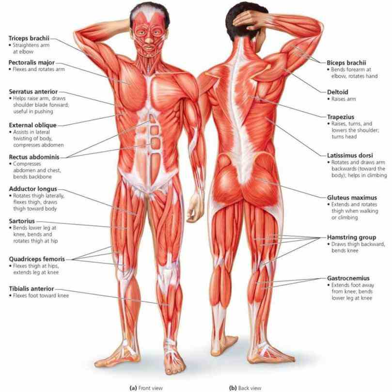Main Parts Of The Muscular System Pictures Wallpapers