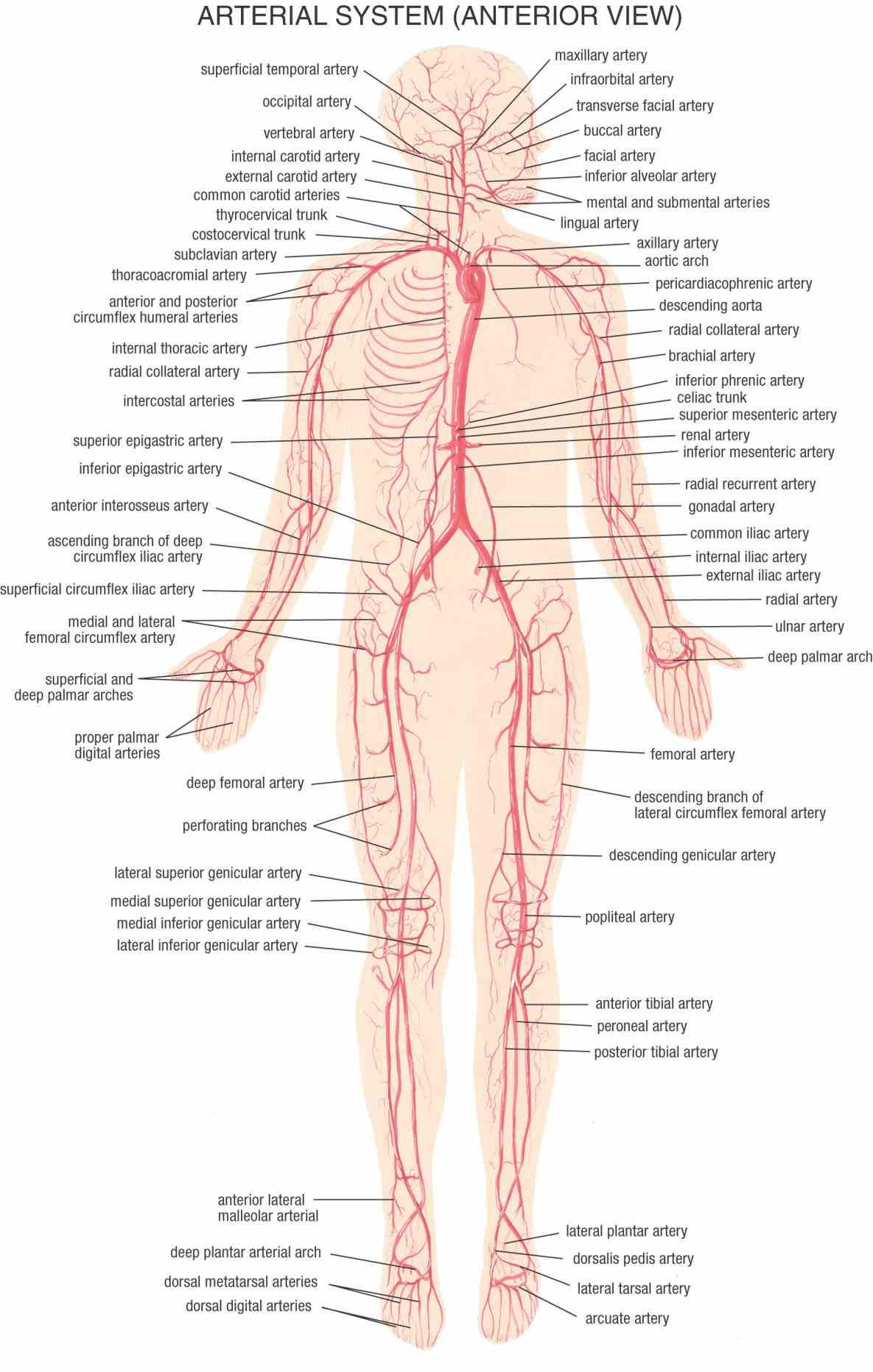neck common carotid artery relations; external artery; the  de All Arteries In The Human Body fev all rights reserved