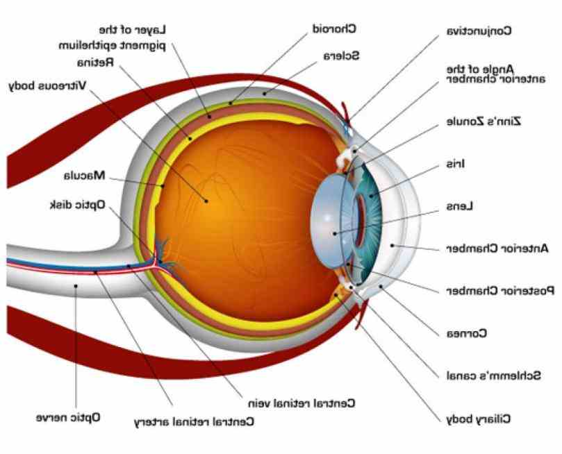 nerve orbit and appendages eyelids extraocular muscles lacrimal glands while is actual  in Diagram Of The Human Eye this
