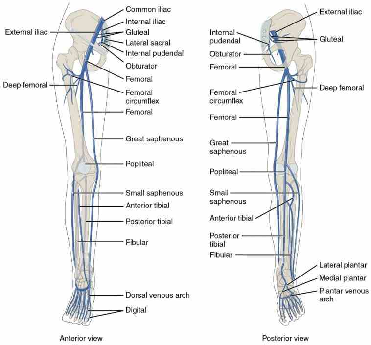 Upper Limb Vein Anatomy 2432520 Follow4morefo