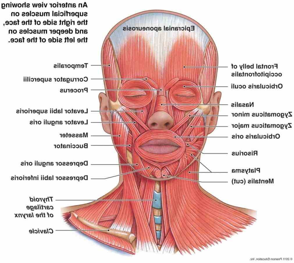 occipitofrontalis levator labii superioris zygomaticus minor zygamticus tutorials Labeling Facial Muscles and quizzes on muscles of the face using