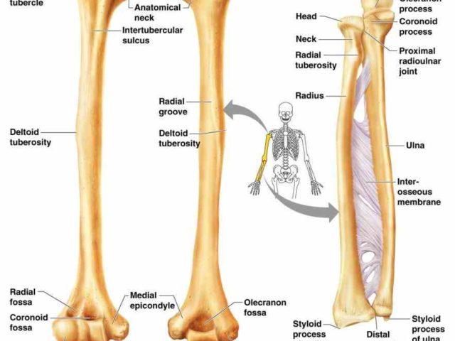 Anatomy radius and ulna