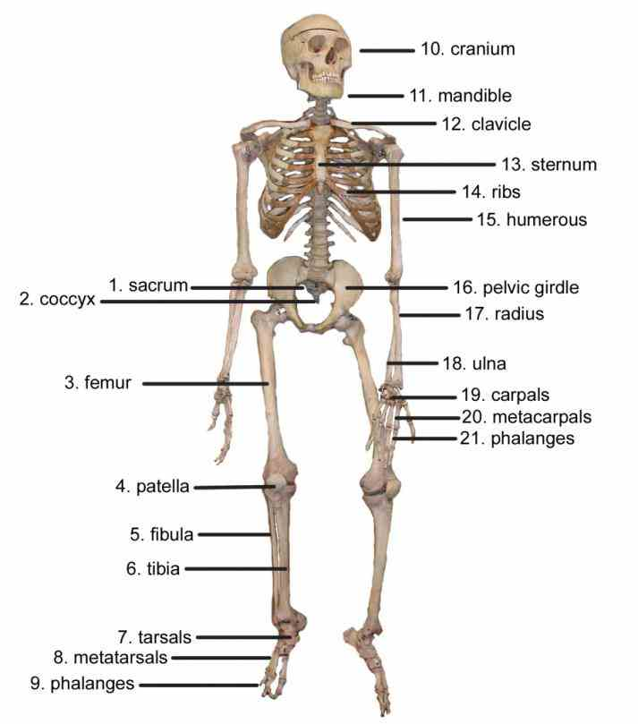 of as a static support structure the skeletal system is dynamic organ with many functions including giving us our