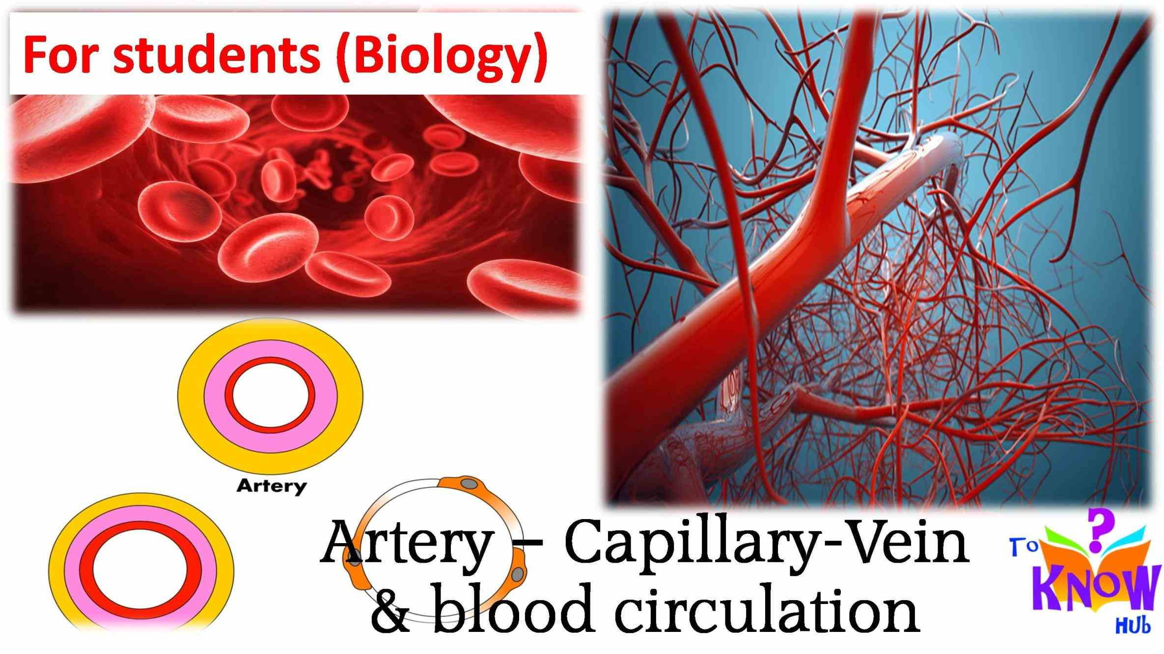 of blood vessels including a summary comparison between arteries arterioles capillaries venules veins in the form two  a Arteries