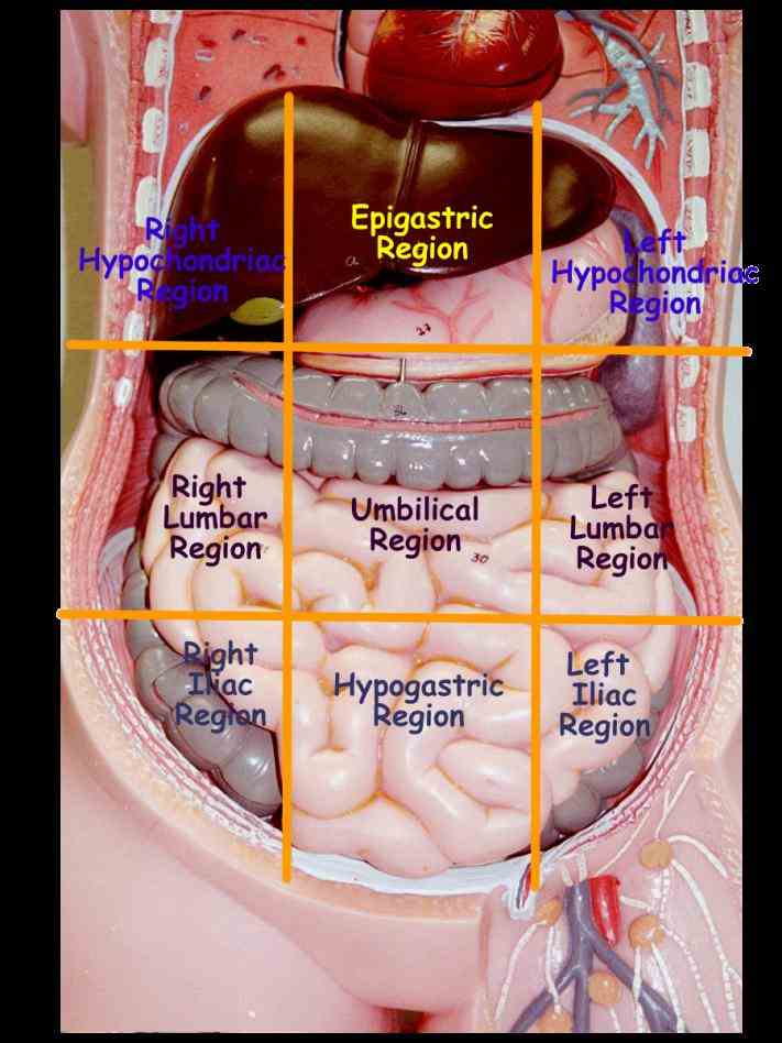 of human body cavity anterior portion torso; divided by diaphragm into thoracic cavity de Dorsal And Ventral Human Body