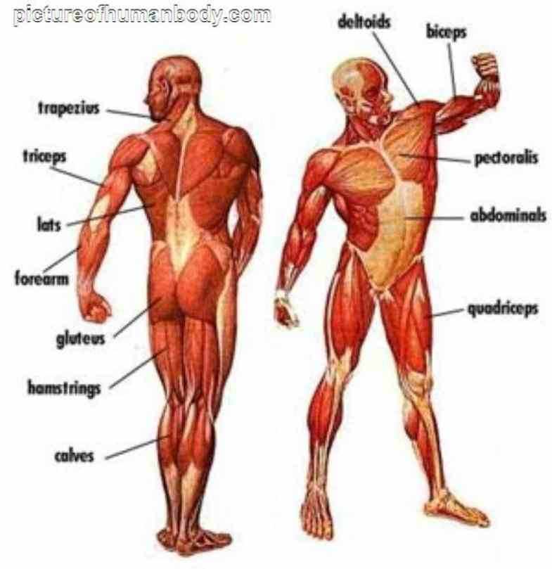 of human body human Major Body Muscles And Diagrams muscular system – the muscles of body are illustrated and