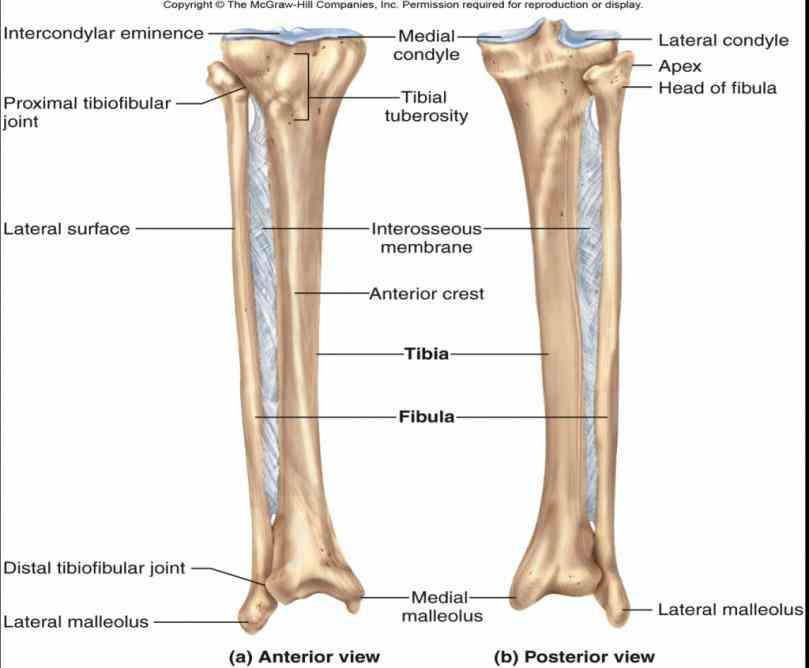 Anatomy of the tibia