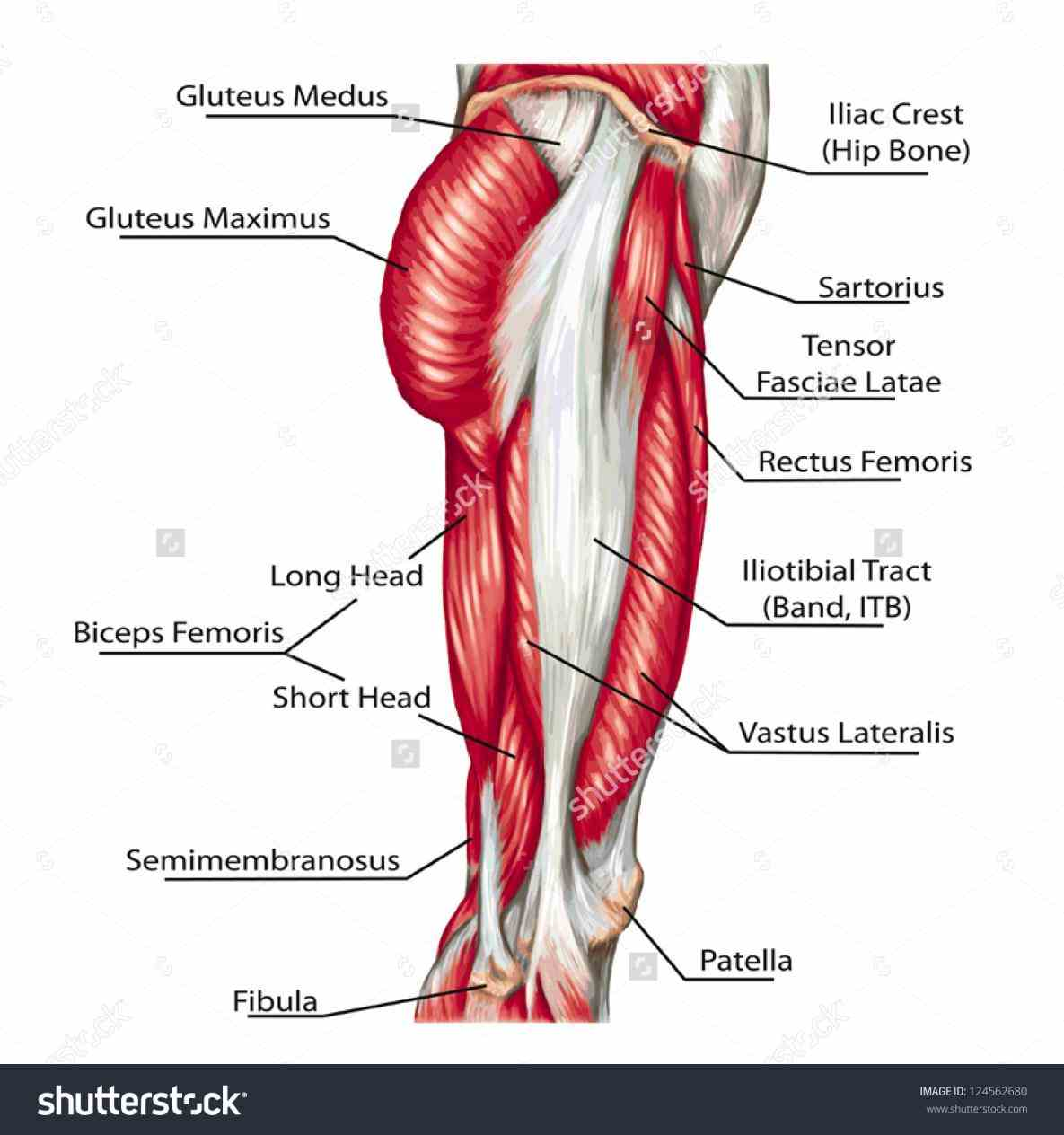 of muscular system and description every muscle in the human body tapping with your fingers it will show  de