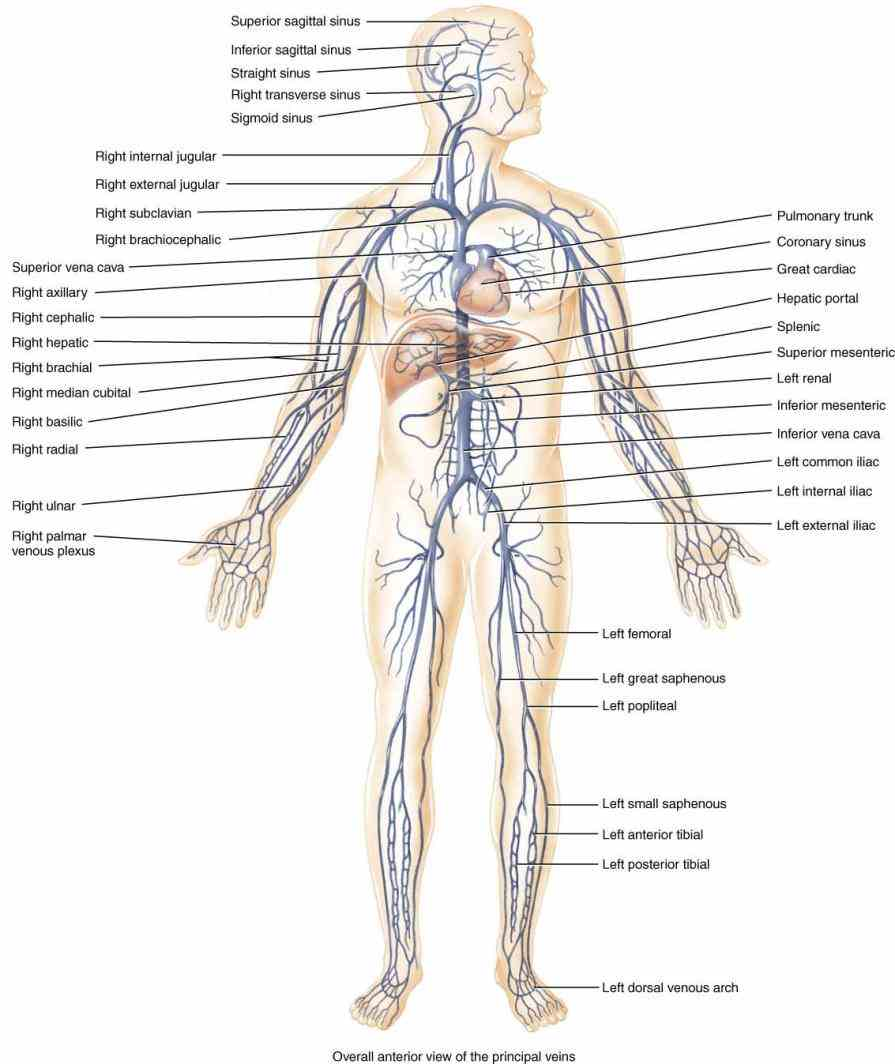 of organ systems that work with one we will briefly discuss major functions each system below major Major System